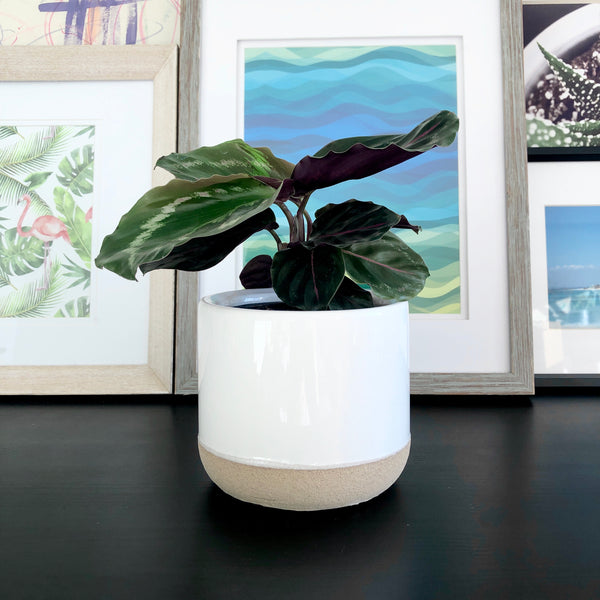 Calathea Medallion in White Ceramic Planter_Plants_Plant Gifts_Online Plant Delivery_Aloe Gal Plants & Decor