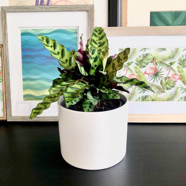 Mason the Calathea Rattlesnake Blanc (Medium)