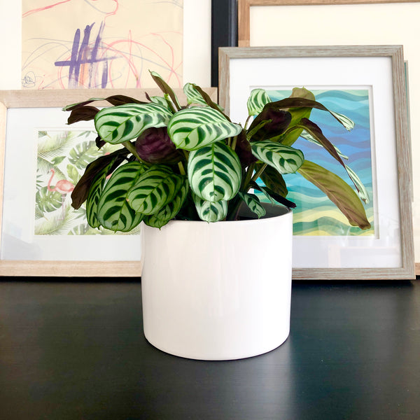 Calathea Stromata Plant in White Ceramic Planter Pot_Aloe Gal Plants & Decor