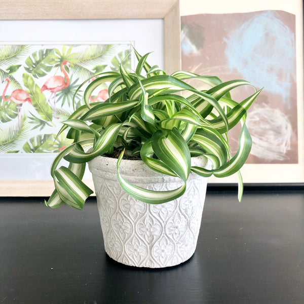 Curly Spider Plant in White Cement Planter Pot_Aloe Gal Plants & Decor