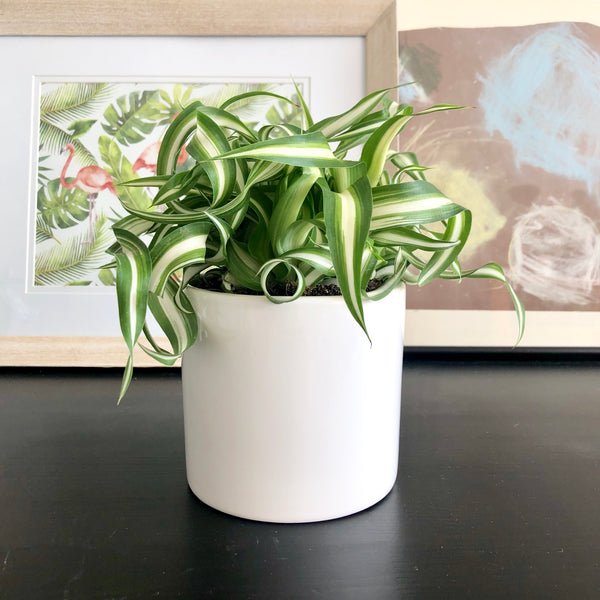 Curly Spider Plant in White Ceramic Planter Pot_Aloe Gal Plants & Decor