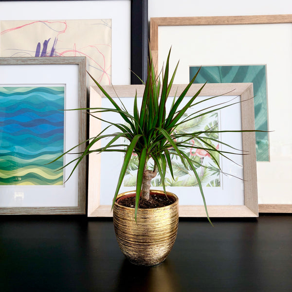 Dracaena in Gold Ceramic Planter Pot_Aloe Gal Plants & Decor
