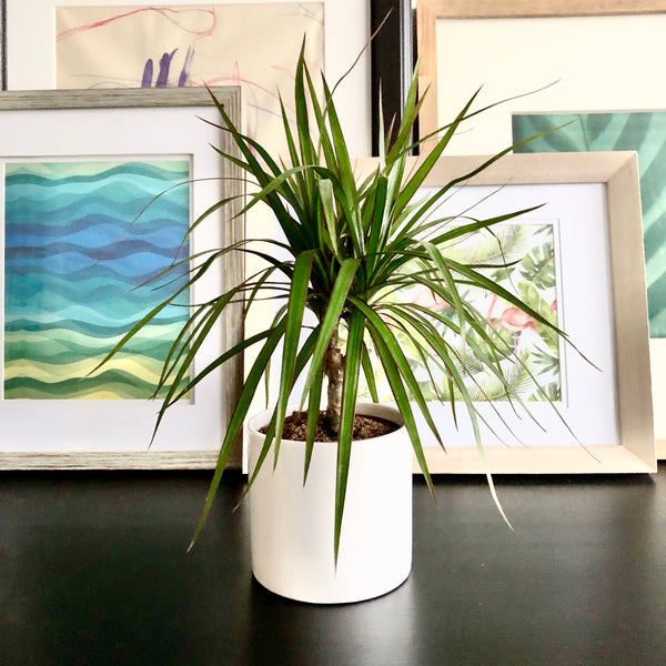 Dracaena in White Ceramic Planter Pot_Aloe Gal Plants & Decor