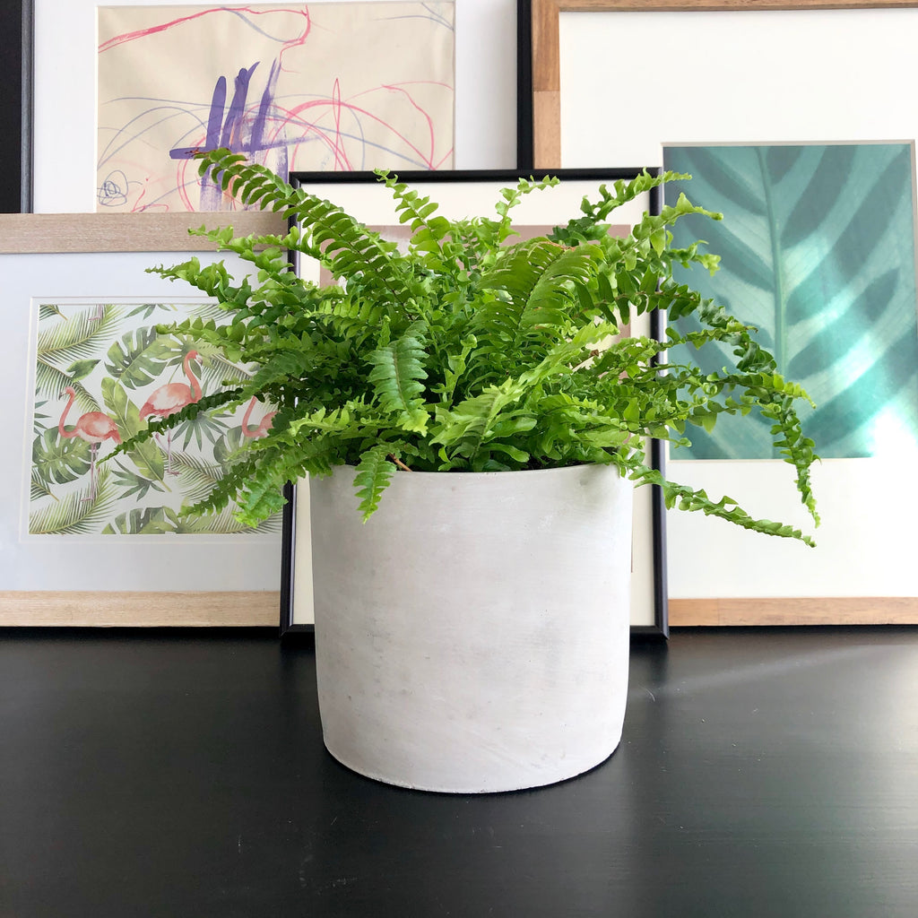 Boston Fern in Natural Grey Cement Cylinder Planter Pot_Aloe Gal Plants & Decor