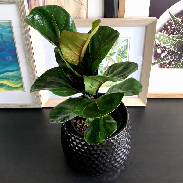 Fiddle Leaf Fig in Black Honeycomb Planter Pot__Plants_Houseplants_Plant Gifts_Online Plant Delivery_Aloe Gal Plants & Decor
