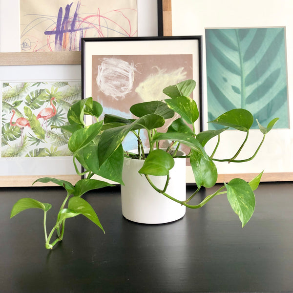 Golden Pothos in White Ceramic Planter Pot_Aloe Gal Plants & Decor