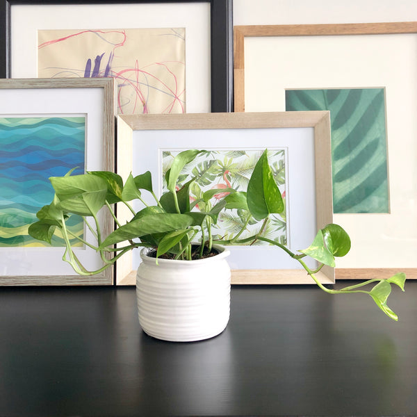 Golden Pothos in White Ceramic Planter Pot_Aloe Gal Plant & Decor