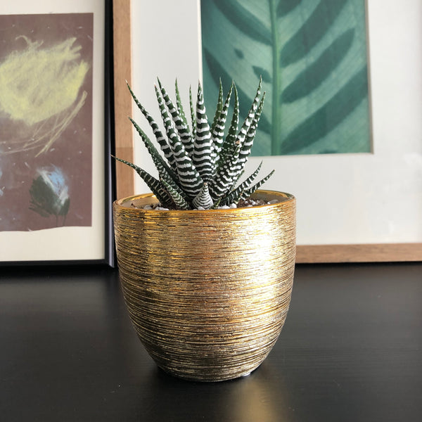 Haworthia in Gold Textured Planter Pot_Aloe Gal Plants & Decor