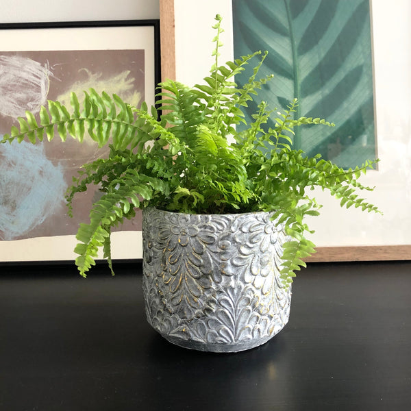 Boston Fern in Grey/Silver Cement Planter with Floral motif and gold leaf accents
