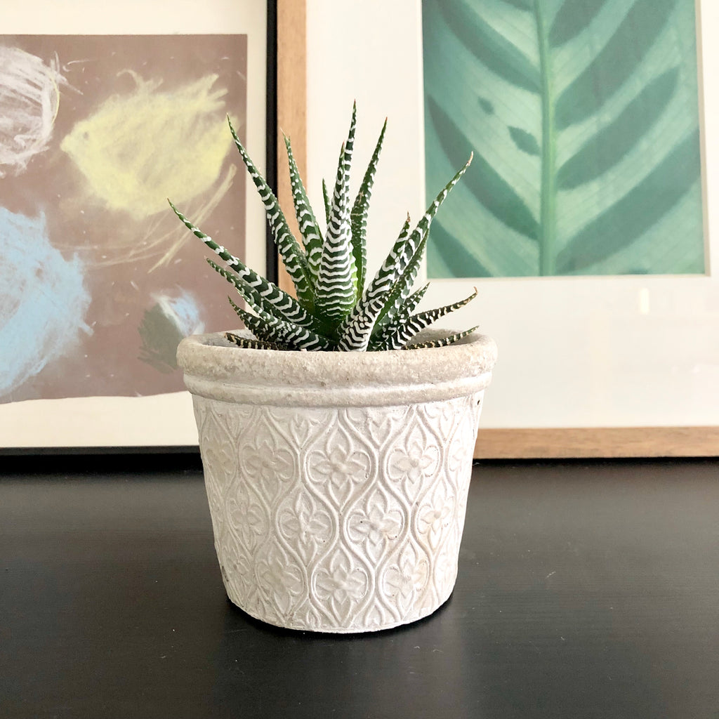Haworthia Plant in White Cement Planter Pot with Floral Arabesque Pattern