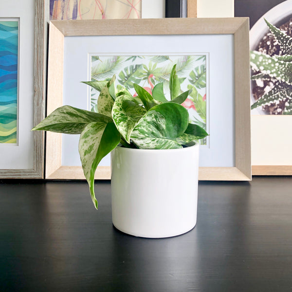 Marble Queen Pothos in White Ceramic Planter__Plants_Houseplants_Plant Gifts_Online Plant Delivery_Aloe Gal Plants & Decor