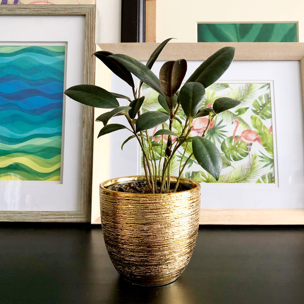 Rubber Tree in Gold Ceramic Planter Pot_Aloe Gal Plants & Decor