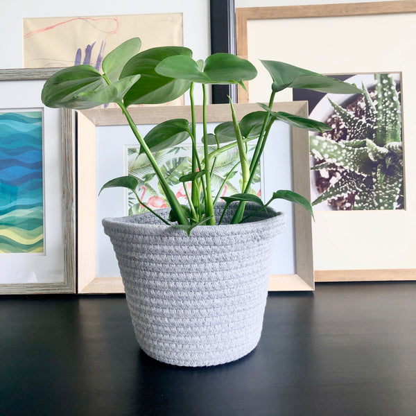 Monstera Swiss Cheese Plant in Light Grey Woven BasketMonstera Swiss Cheese Plant__Plants_Houseplants_Plant Gifts_Online Plant Delivery_Aloe Gal Plants & Decor