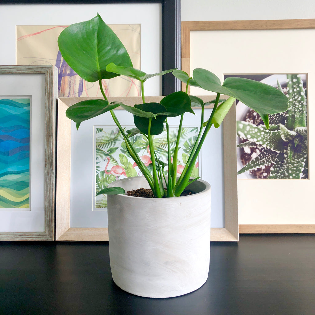Monstera Swiss Cheese Plant__Plants_Houseplants_Plant Gifts_Online Plant Delivery_Aloe Gal Plants & Decor