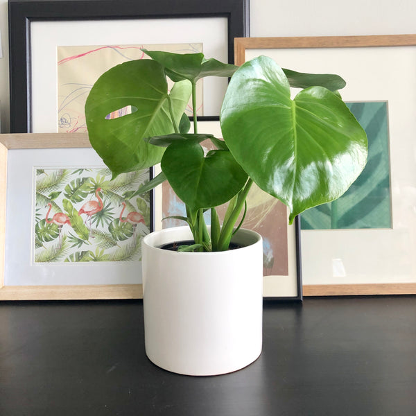 Monstera in White Ceramic Planter Pot_Aloe Gal Plants & Decor