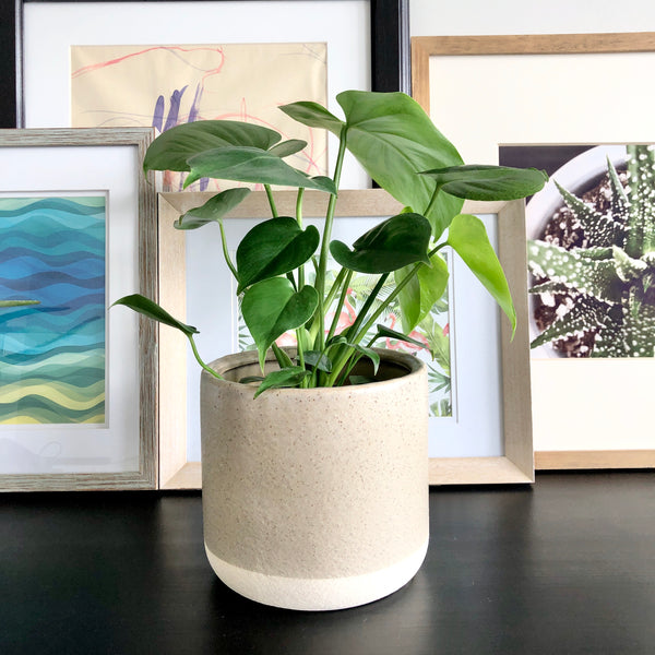 Monstera in Planter Pot__Plants_Houseplants_Plant Gifts_Online Plant Delivery_Aloe Gal Plants & Decor
