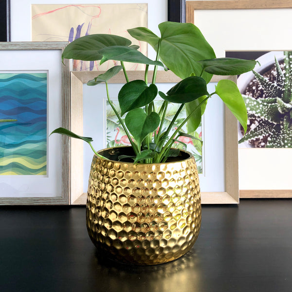 Monstera in Gold Honeycomb Planter Pot__Plants_Houseplants_Plant Gifts_Online Plant Delivery_Aloe Gal Plants & Decor