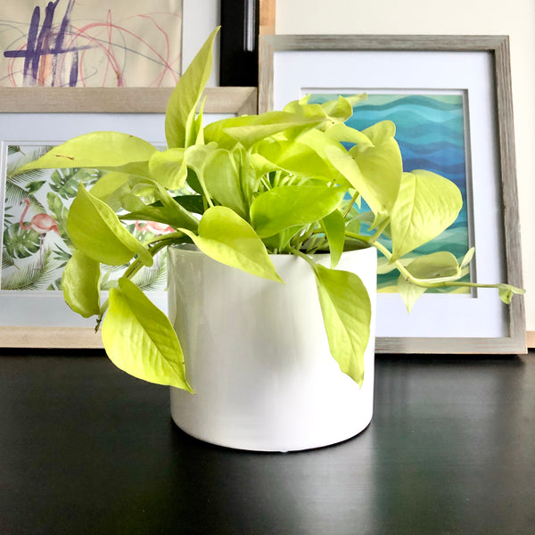 Neon Pothos in White Ceramic Planter Pot_Aloe Gal Plants & Decor