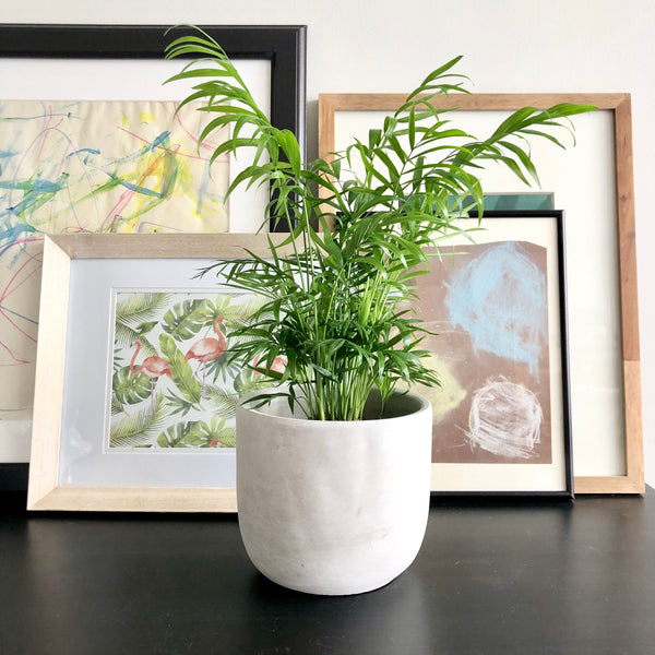Parlor Palm in Natural Grey Cement Planter Pot_Aloe Gal Plants & Decor
