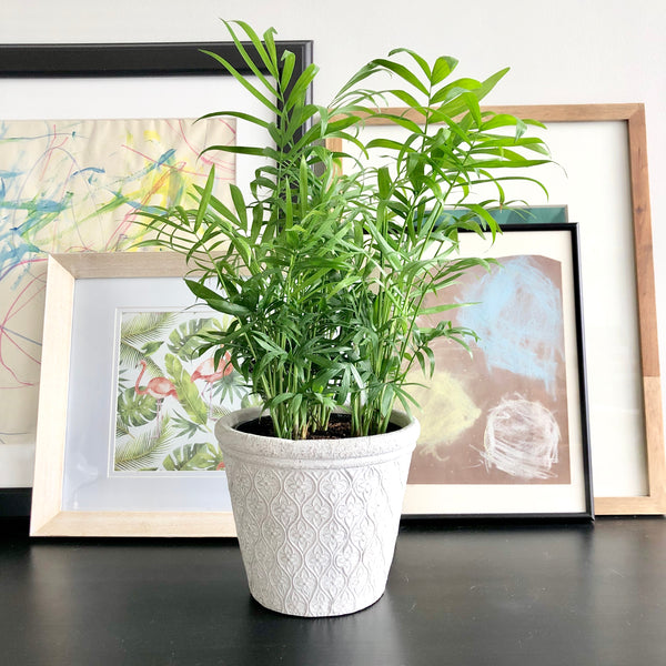 Parlor Palm in White Cement Planter with Floral Arabesque Pattern_Aloe Gal Plants & Decor