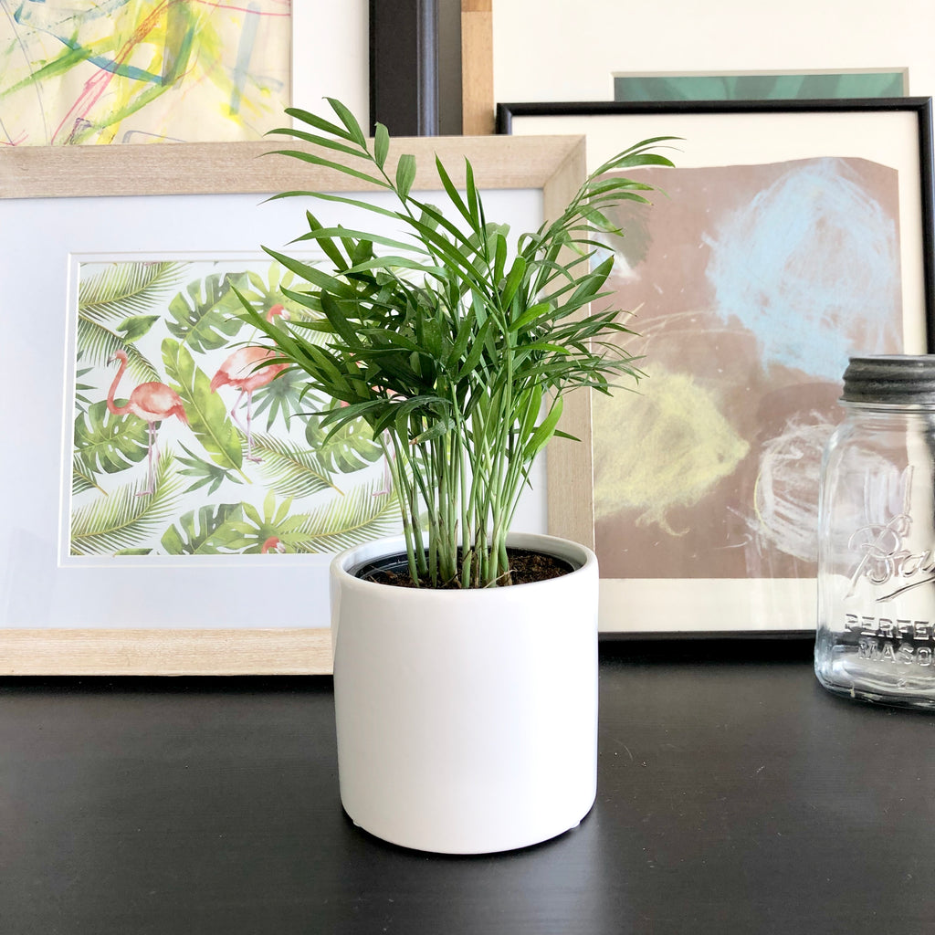 Parlor Palm in White Ceramic Planter Pot_Aloe Gal Plants & Decor