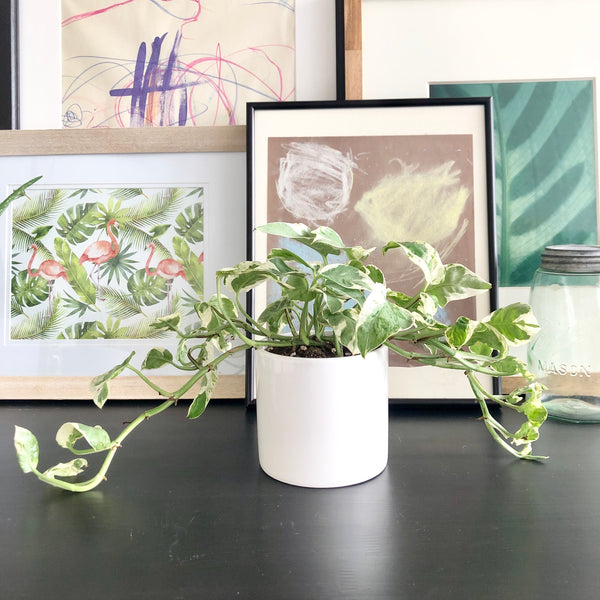 Pearls & Jade Pothos in White Ceramic Planter Pot_Aloe Gal Plants & Decor