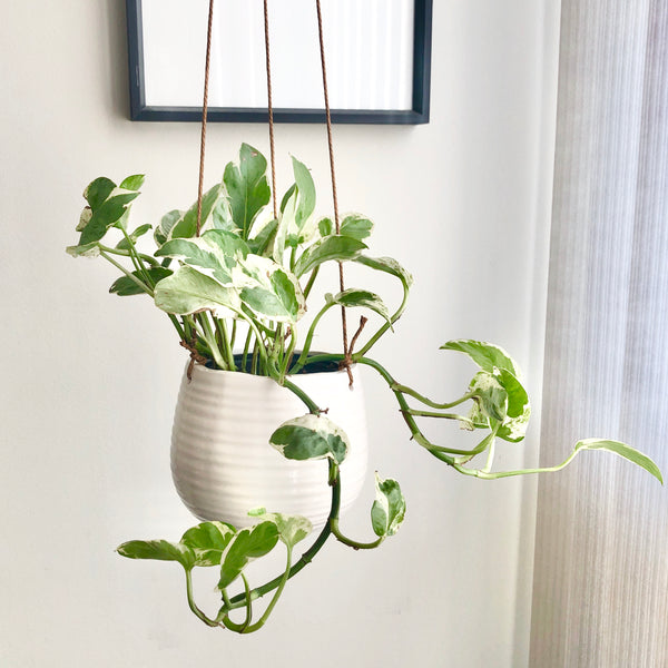 Pearls & Jade Pothos in White Ceramic Hanging Planter Pot_Aloe Gal Plant & Decor