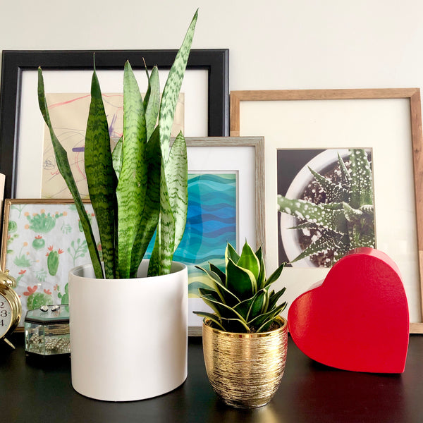 The Perfect Snake Plant Gift Duo