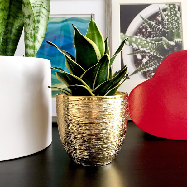 Snake Plant in Gold Planter Pot__Plants_Plant Gifts_Valentine's Day_Aloe Gal Plants & Decor