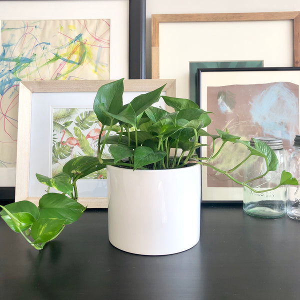 Golden Pothos Plant in White Gloss Ceramic Planter Pot_Aloe Gal Plants & Decor
