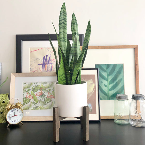Sansevieria Snake Plant in White Ceramic Planter Pot with Brown Paulownia Wood Planter Stand_Aloe Gal Plants & Decor