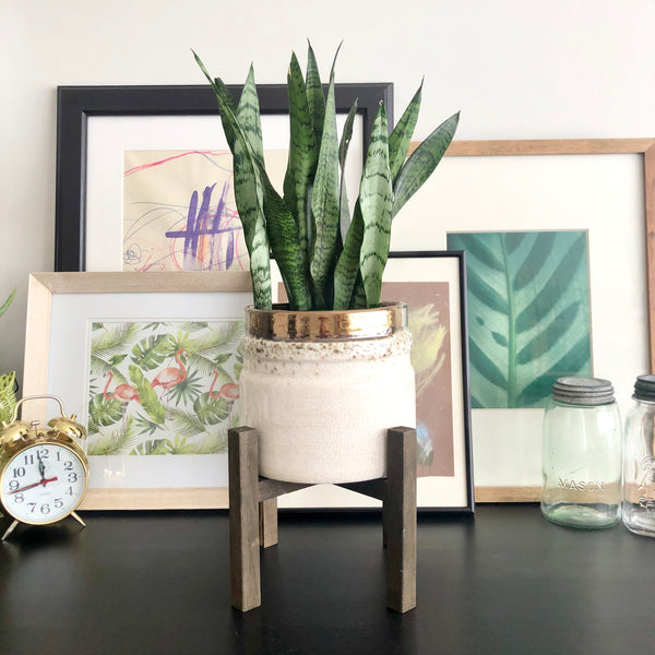 Cali the Snake Plant with Pauly the Plant Stand (Medium)