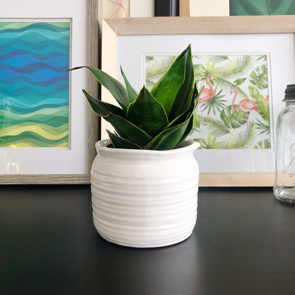 Bird's Nest Snake Plant in White Ceramic Planter Pot with Spout_Aloe Gal Plants & Decor