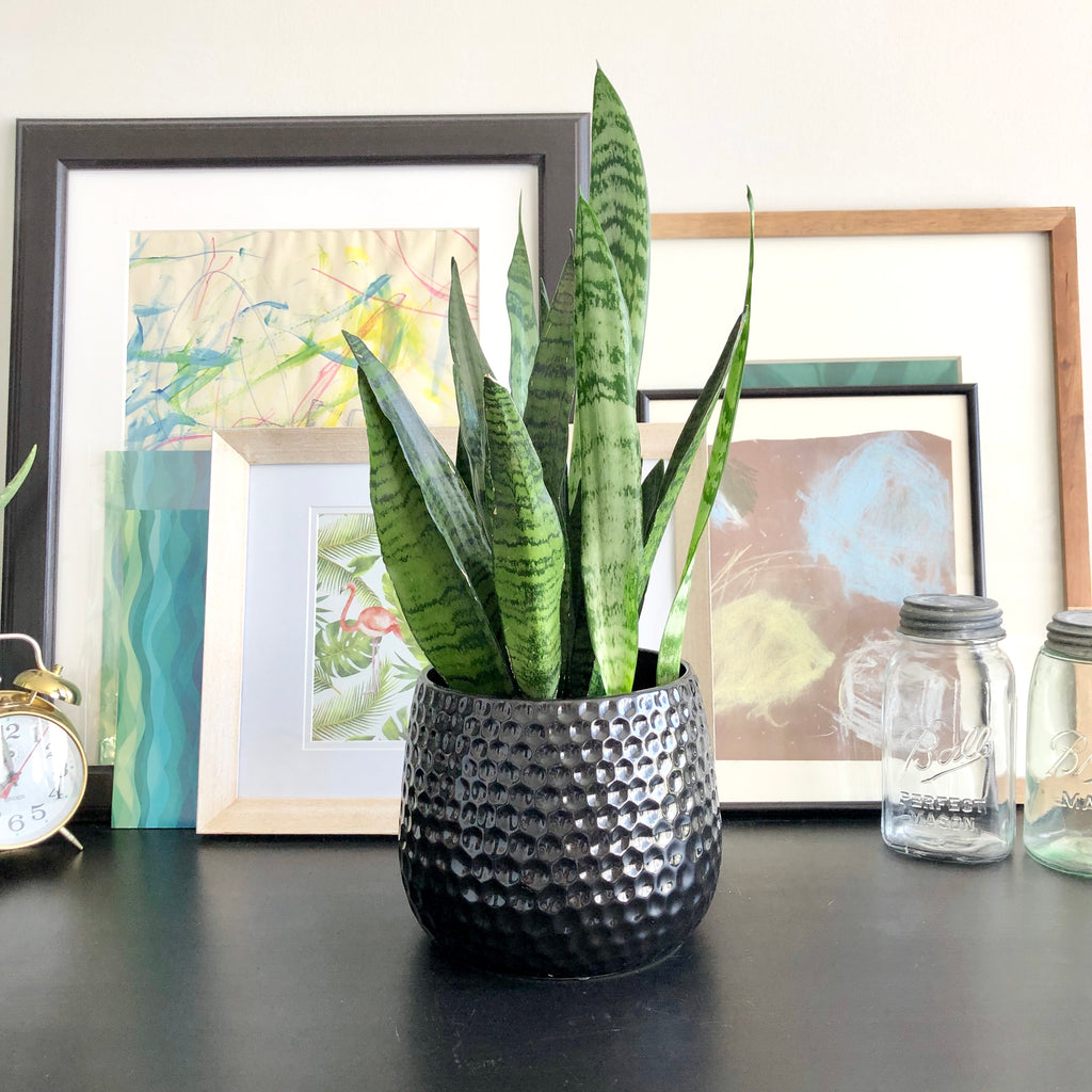 Snake Plant in Black Ceramic Planter Pot with Honeycomb Detail_Aloe Gal Plants & Decor