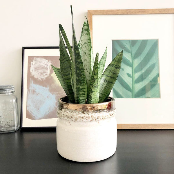 Snake Plant in Ceramic Planter Pot with Bronze and Crackle Finish