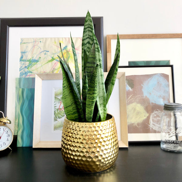 Snake Plant in Gold Honeycomb Planter Pot_Aloe Gal Plants & Decor