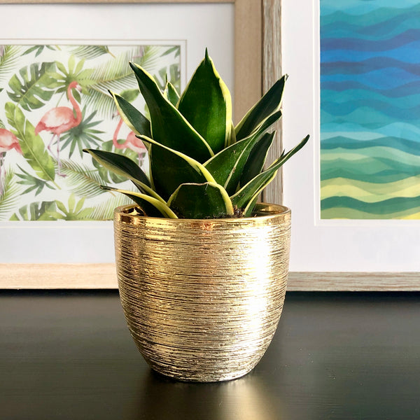 Snake Plant in Gold Planter Pot_Aloe Gal Plants & Decor