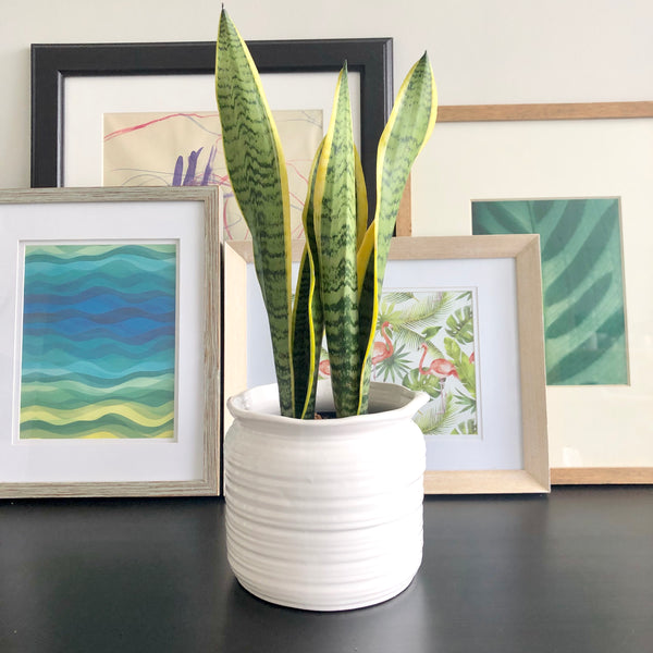 Snake Plant in White Ceramic Planter Pot with spout_Aloe Gal Plants & Decor