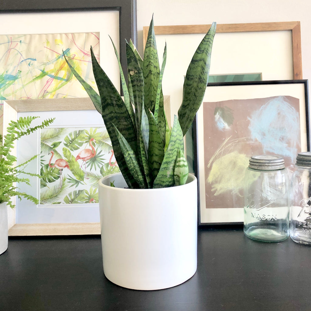 Snake Plant or Sansevieria in White Matte Ceramic Planter Pot_Aloe Gal Plants & Decor