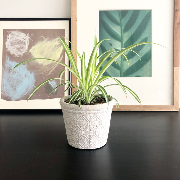 Spider Plant in White Cement Planter Pot with Floral Arabesque Pattern_Aloe Gal Plants & Decor