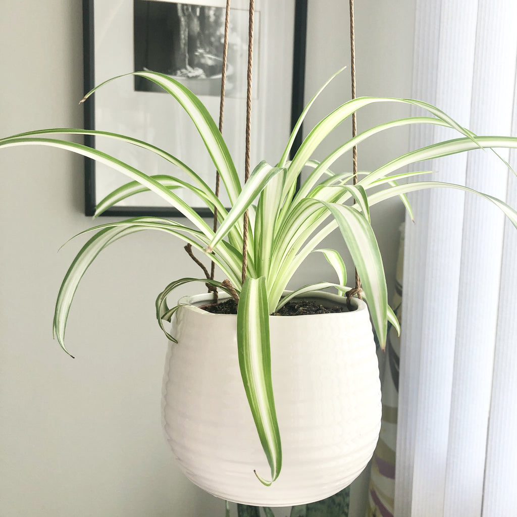 Spider Plant with White Ceramic Hanging Planter_Aloe Gal Plants & Decor