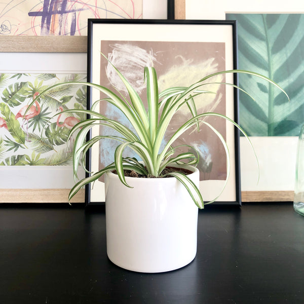 White Spider Plant in White Ceramic Planter Pot_Aloe Gal Plants & Decor