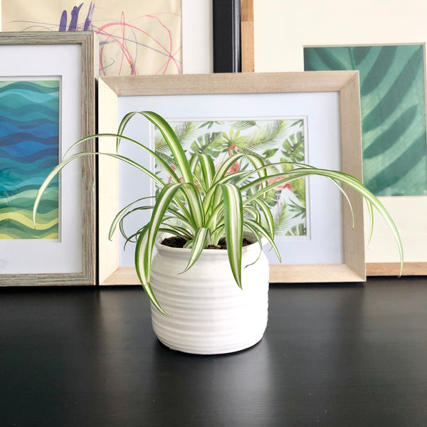 Spider Plant in White Ceramic Planter Pot_Aloe Gal Plants & Decor