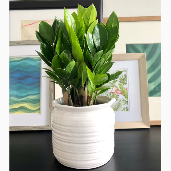 ZZ Plant in White Ceramic Planter Pot_Aloe Gal Plants & Decor