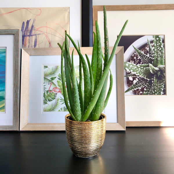 Aloe in Gold Planter__Plants_Houseplants_Plant Gifts_Online Plant Delivery_Aloe Gal Plants & Decor