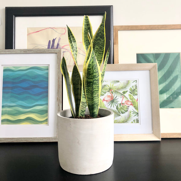 Snake Plant Sansevieria in Natural Grey Cement Planter Pot_Aloe Gal Plants & Decor