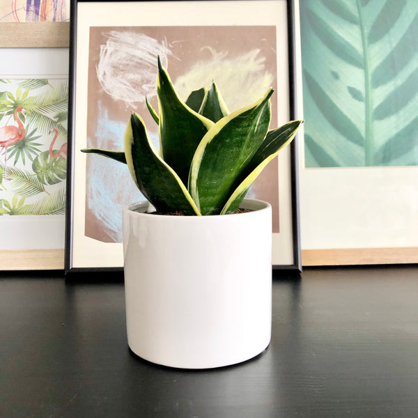Benny La Blanc the Snake Plant (Small)