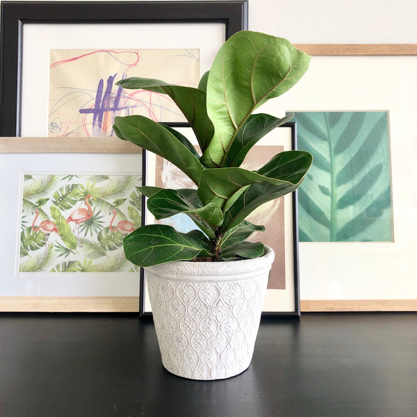 Fiddle Leaf Fig Plant in White Cement Planter Pot with Floral Arabesque Pattern_Aloe Gal Plants & Decor