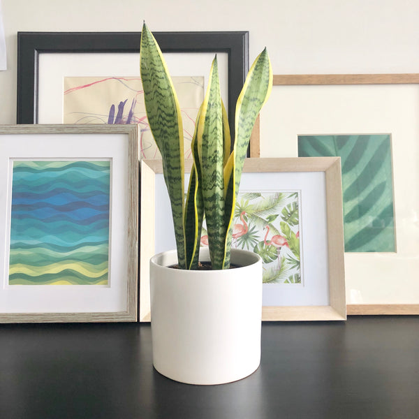 Snake Plant Sansevieria in White Ceramic Planter Pot_Aloe Gal Plants & Decor