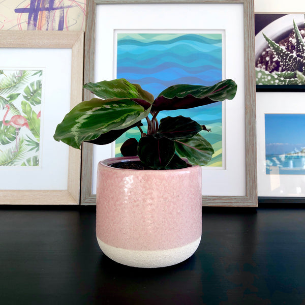 Calathea Medallion in Pale Pink Ceramic Planter_Plants_Plant Gifts_Plant Delivery_Aloe Gal Plants & Decor